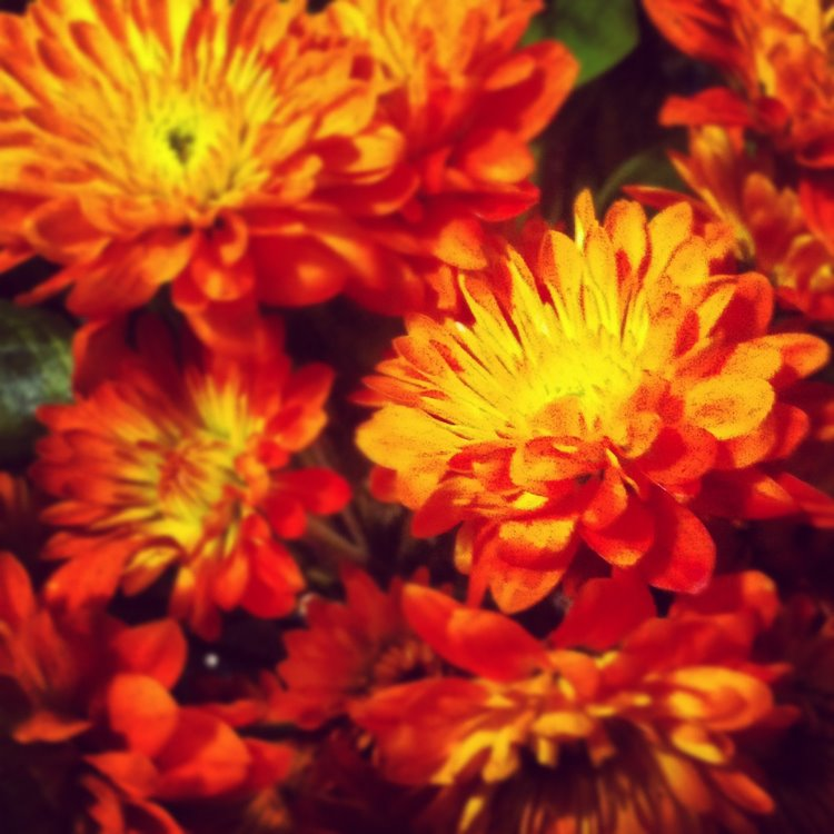 List of fall flowers instagram fall flowers gobbledy for Popular fall flowers