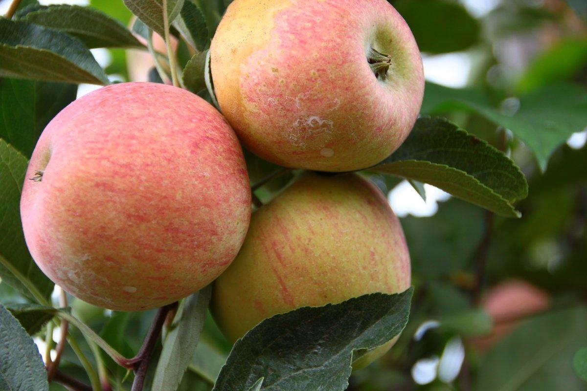 apples- 9 aug 2014