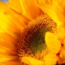 sunflower - 17 apr 2015