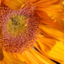 sunflower - 27 jun 2015