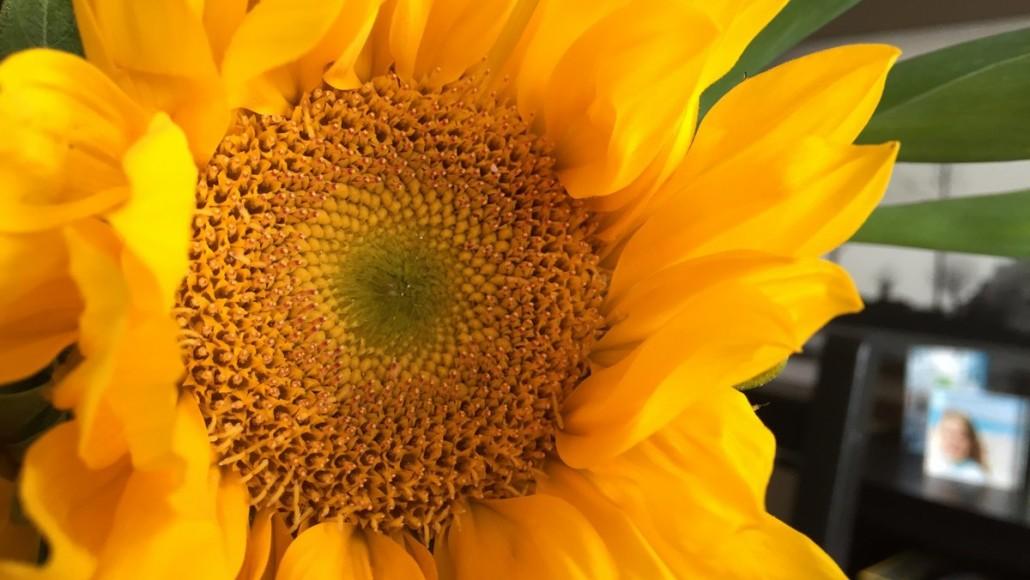 sunflower - 12 jul 2016