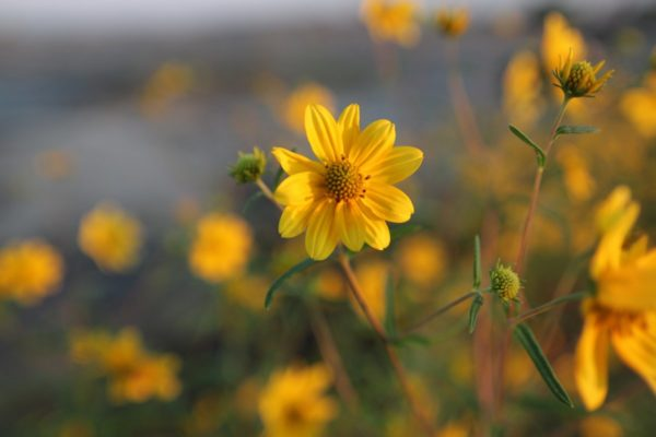 yellow daisy - 29 sep 2016