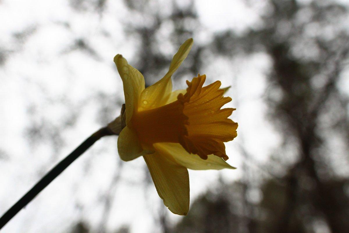 daffodil - 5 feb 2017
