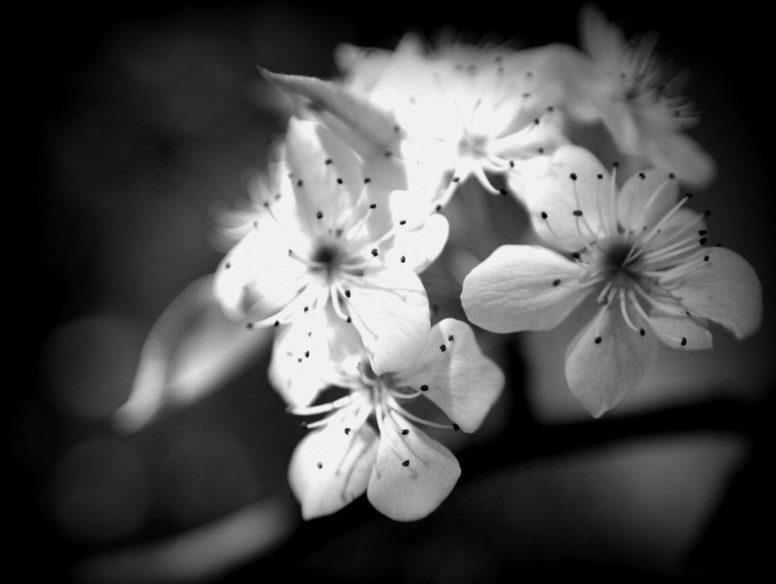 blossoms - 2 mar 2017
