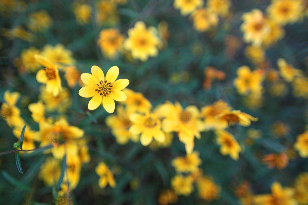 yellow daisies - 29 sep 2017
